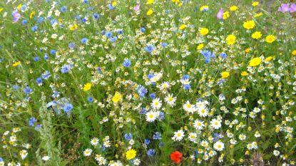 Gemeente denkt aan insecten, plant 12 bloemenweides én deelt gratis bloemzaadjes uit