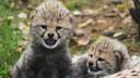 De twee jachtluipaardjes zijn inmiddels geadopteerd door een bedrijf en door voormalig dierenarts van de Beekse Bergen Jacques Kaandorp. De opbrengst van die symbolische adoptie is voor stichting Wildlife.