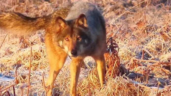 Akela, le loup des Fagnes