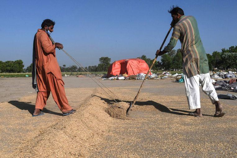 De productie van basmatirijst in Pakistan Beeld AFP