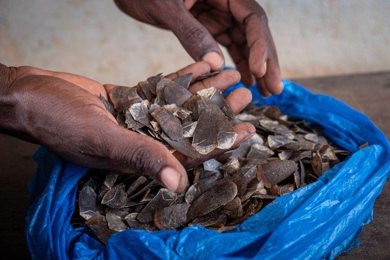 Ahmed Fofana laat wat van de schubben zien die hij van gedode schubdieren heeft gehaald. Het zijn deze schubben die veel geld op kunnen brengen. Beeld Joost Bastmeijer