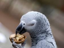 Campinggast springt tevergeefs Waal in om papegaai Jacky te redden: 'Hij is voor mijn ogen verdronken'