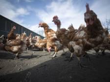 Angst voor vogelgriep, maar ophokplicht blijft (nog) uit