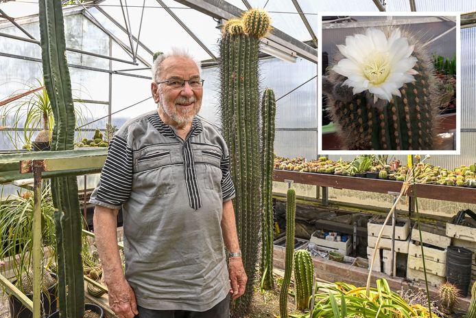 Sjef Theunissen is een hobby cactuskweker. Hij heeft nu een oude cactus na 60 jaar voor het eerst in bloei staan. Inzet: de bloem, die na twee dagen alweer verwelkt was.