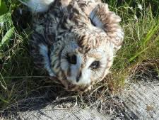 Zeldzame velduil doodgereden in de Noordwaard