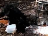 Toerist filmt hoe twee zwarte beren elkaar te lijf gaan