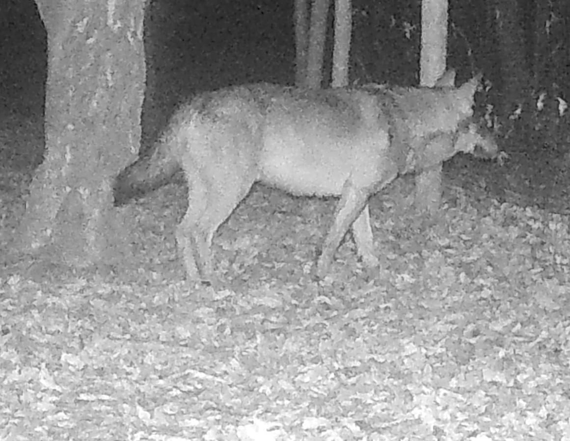 GW1625, de Brabantse wolf.