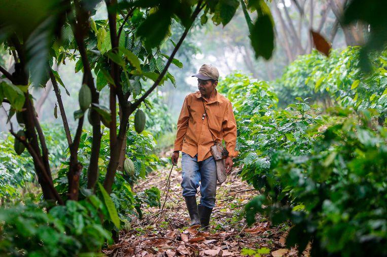 Koffieboeren moeten kennis aangereikt krijgen om hun gewas weerbaarder te maken tegen de klimaatverandering. Beeld AFP
