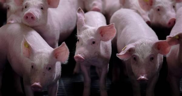 Tekort aan personeel in varkensindustrie: wie wil werk tussen de varkens?