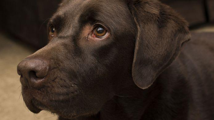 stockadr stockpzc hond labrador