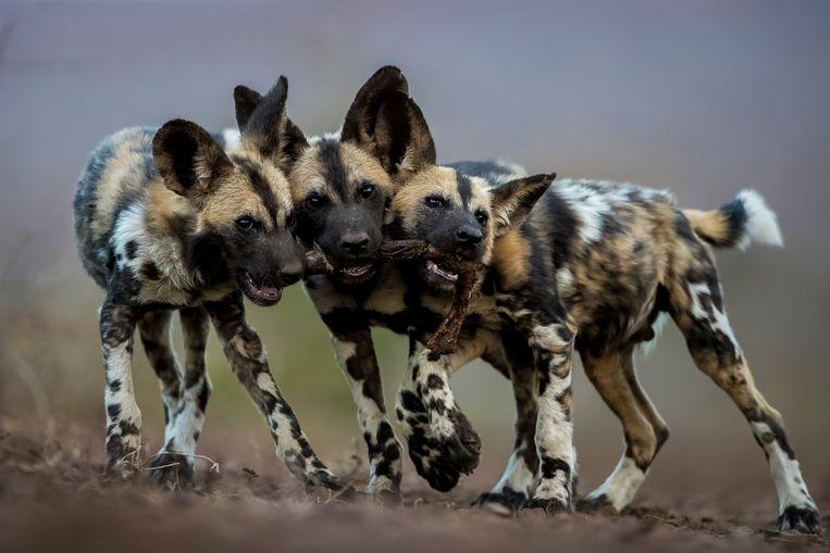Jonge Afrikaanse wilde honden spelen met het been van een impala in Mkuze, Zuid-Afrika. Beeld Bence Máté