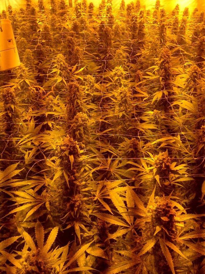 In totaal beschikte de kwekerij over 432 planten.