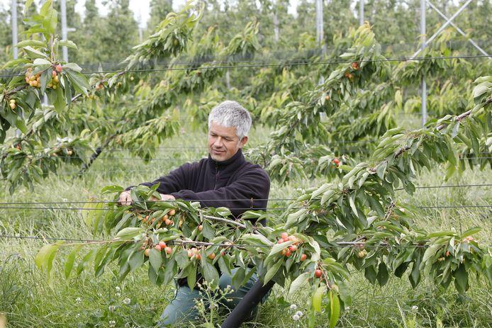 Fruitteler Bart Verwoert uit Lienden bindt dinsdag in zijn kersenboomgaard in Ochten de takken van zijn 1300 'platgeslagen' bomen op.