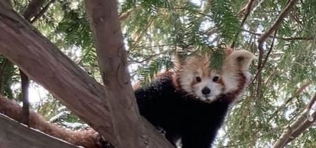 Hoe gaat het met Zayah, de Alphense rode panda die onlangs verhuisde naar Duitsland?