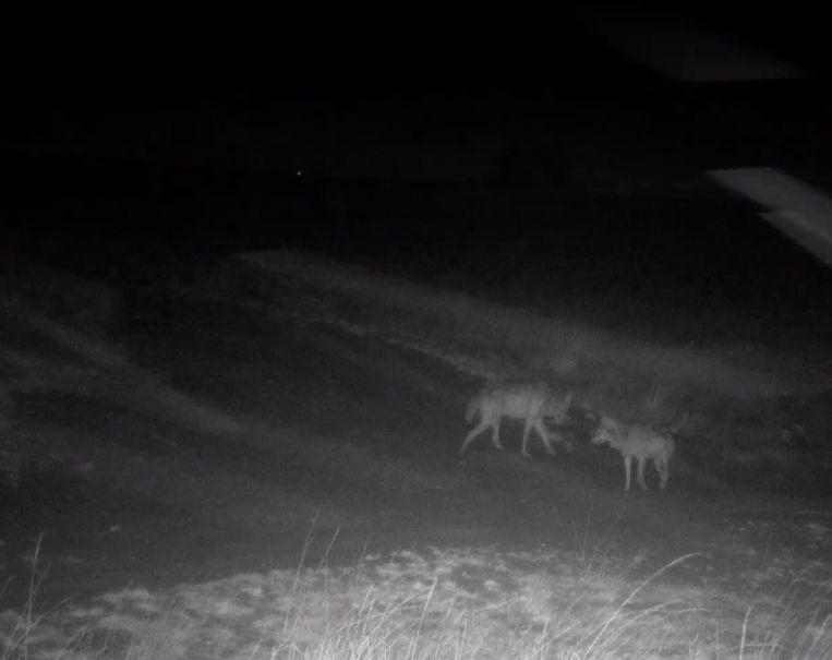 Natuur&Bos kon het nieuwe wolvenkoppel samen filmen. Beeld Natuur&Bos