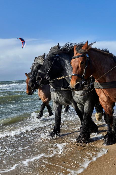 Met zeepaarden op garnalenjacht aan de Maasvlakte