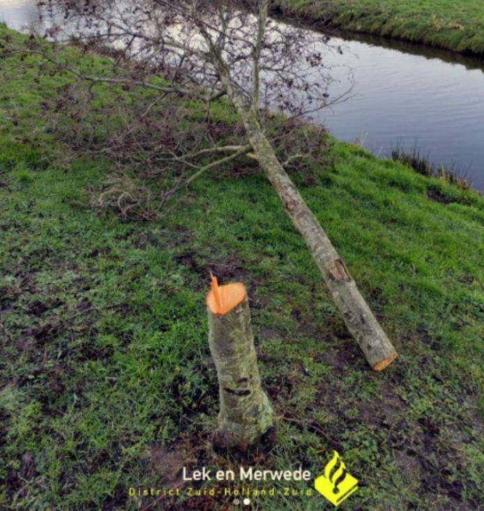 Een van de omgezaagde bomen in Brandwijk.