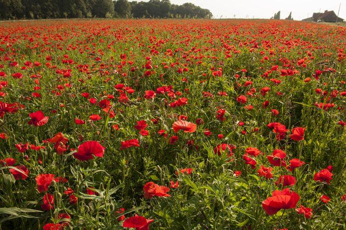 De klaproosvelden staan nog zo'n veertien dagen in bloei.