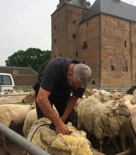 Weg met die warme jas: schapen scheren op Loevestein