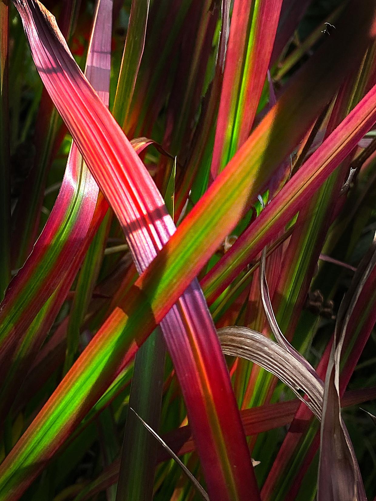 Imperata cylindrica 'Red Baron'.