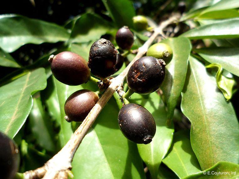 De Coffea stenophylla levert 'superieure' koffie op. Beeld AFP