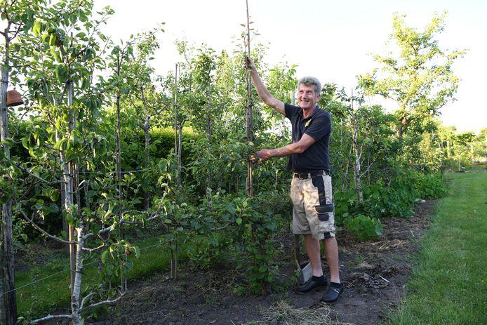 GILZE, Jan Stads / Pix4Profs Van West-Brabantse bodem, de Fruitboogerd, fruitbomen en klein fruit. Jos Dilven bij zijn unieke perenboom vier keer geeent deze boom heeft drie verschillende soorten peren in zich. Jos heeft ent 4 en 2 vast elke gedeelte (vier dus) heeft een andere soort peer.