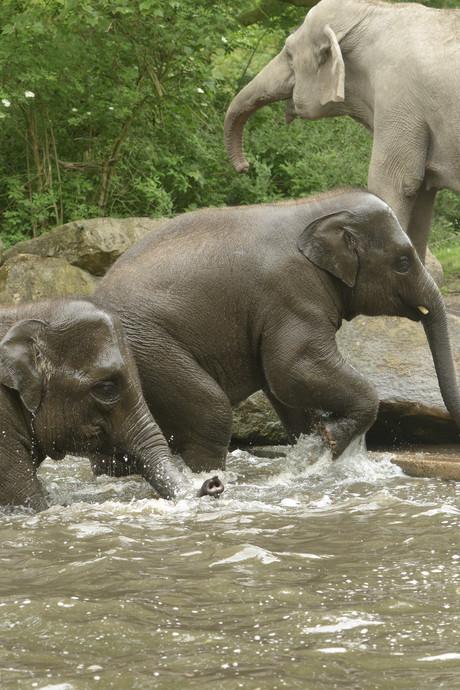 Olifanten hebben dikke pret bij partijtje badderen in de bloedhitte