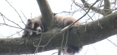 Waarom willen we geen wasbeer in onze bossen?