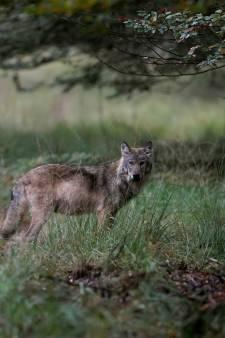 Wolvin doodgereden op provinciale weg bij Ede