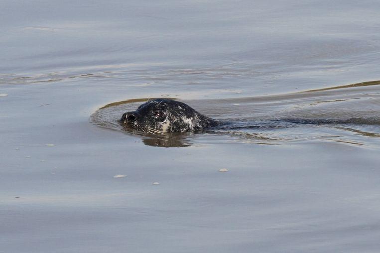 Vier jaar geleden werd er een gewone zeehond gespot in de Rupel.