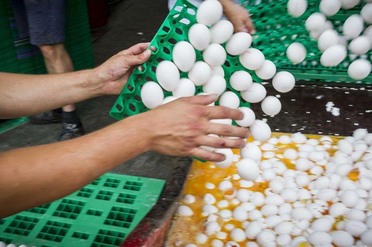Eieren worden op last van de Nederlandse NVWA vernietigd bij een pluimveehouder Beeld anp