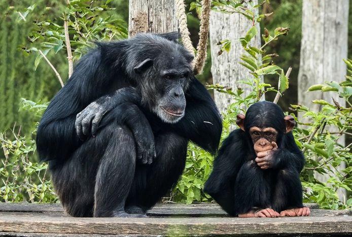 Jonge chimpansee Gerrit overleden.