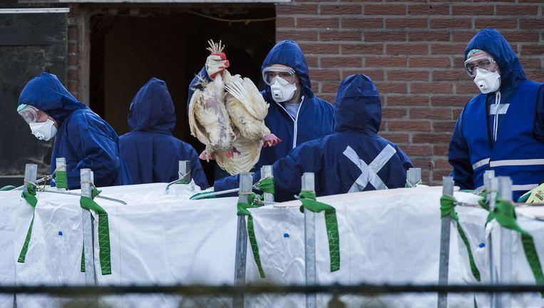 Medewerkers van de Nederlandse Voedsel- en Warenautoriteit (NVWA) controleren kippen. Beeld ANP