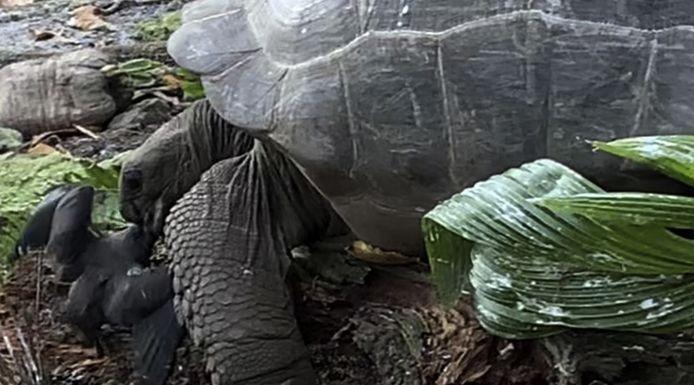 """""""C'est totalement surprenant et plutôt horrible. La tortue poursuit délibérément l'oiseau et le tue, et puis le mange. Donc oui, c'est de la chasse"""", a commenté Justin Gerlach, biologiste de l'université de Cambridge"""