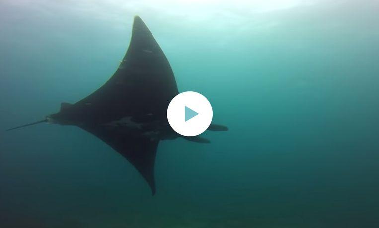 Duiker zwemt mee met grootste rog ter wereld - Tv standaard huis ter wereld ...
