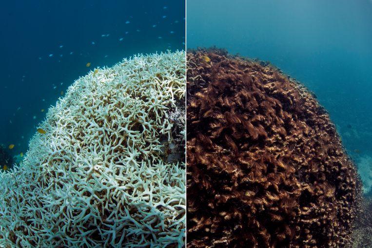 Op deze fotocombinatie is de verbleking van het koraal van het Great Barrier Reef pijnlijk duidelijk. Beeld AP