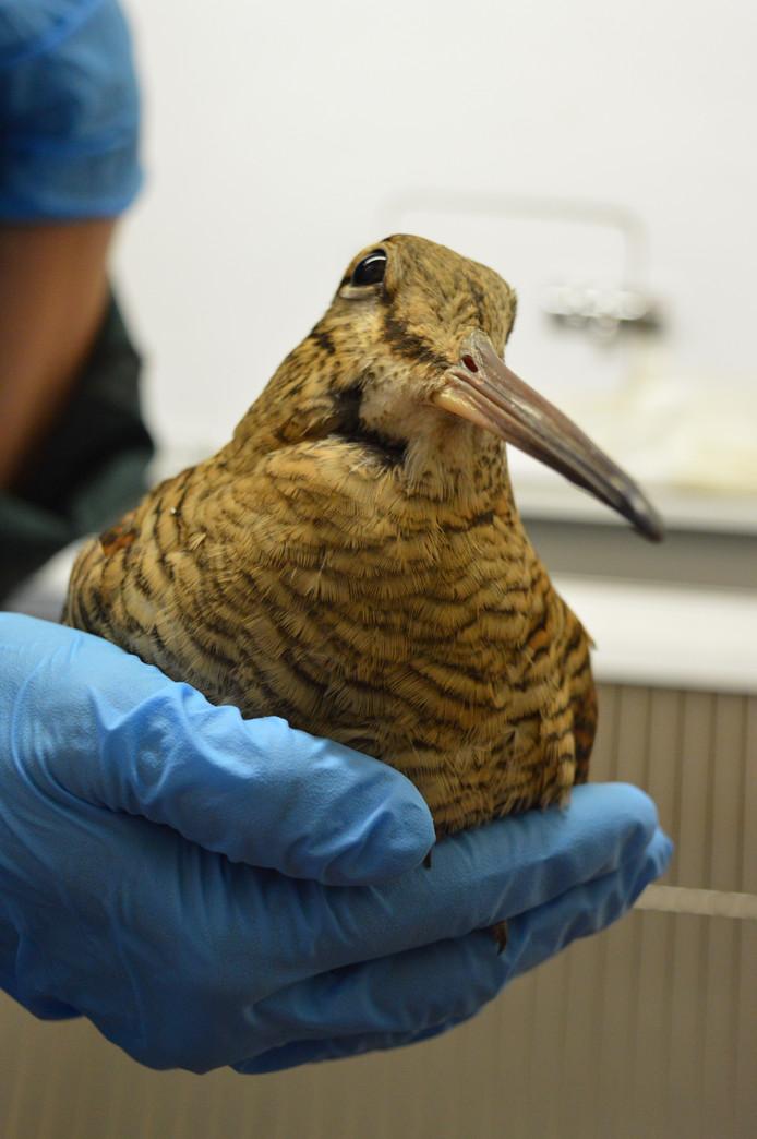 Ook deze houtsnip is opgevangen in de Vogelklas. Hij hield een hersenschudding over aan de klap tegen een gebouw.