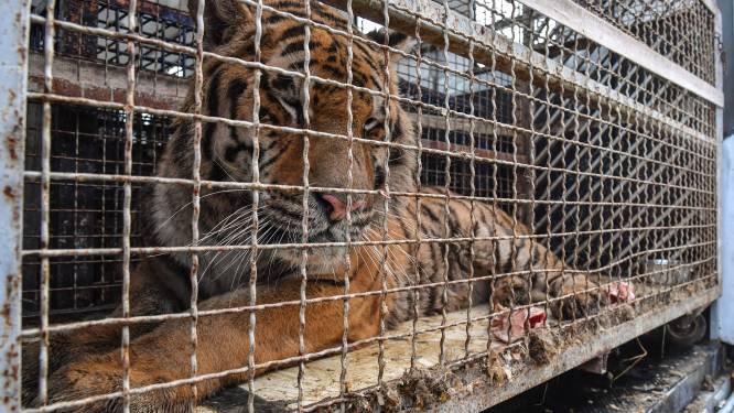 Poolse zoo biedt tijdelijk onderdak aan zieke tijgers die dagenlang vastzaten