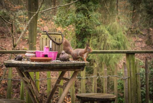Il n'est pas rare de croiser le regard d'un écureuil ou deux, lorsque l'on prend son petit-déjeuner en face de la fenêtre.