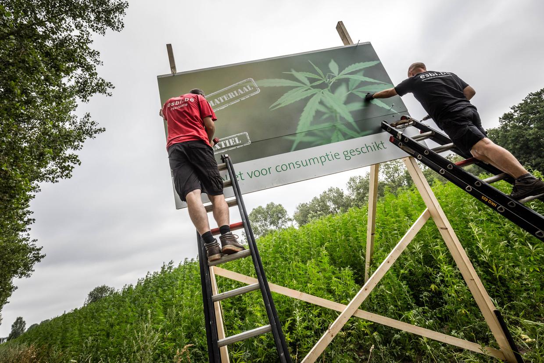 Het eerste openbare hennepveld in Nederland bevindt zich in Helmond. Het gewas zal worden gebruikt voor industriële doeleinden en is niet geschikt voor consumptie.  Beeld Hollandse Hoogte, Rob Engelaar