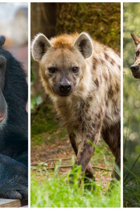 Niet twee, maar drie ontsnappingen bij Dierenpark Amersfoort in één jaar tijd: 'Had nooit mogen gebeuren'