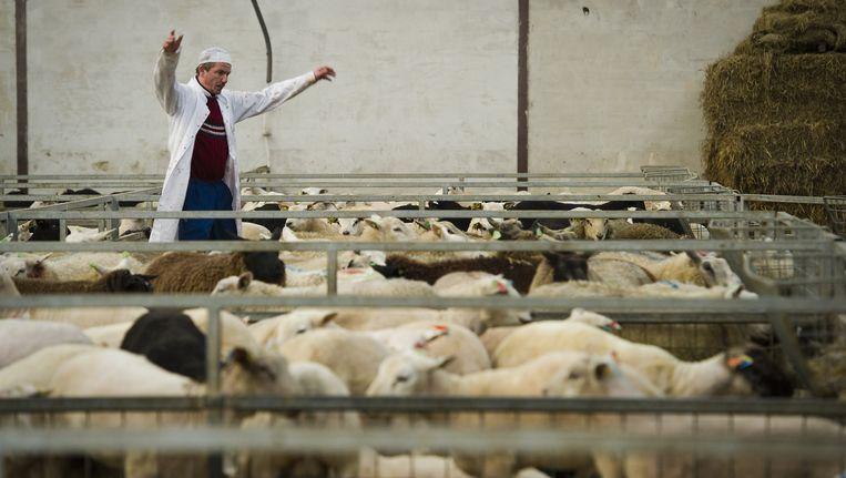 In een slachthuis in Dodewaard worden dinsdag schapen op rituele wijze geslacht voor het Islamitische Offerfeest. Beeld ANP