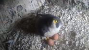 Slechtvalken broeden al op twee eitjes - en zijn daarmee week vroeger dan gewoonlijk
