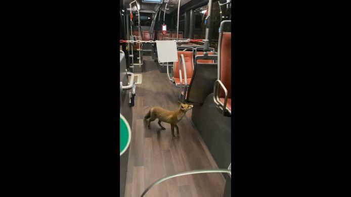 Un renard prend un bus pour se rendre à Forest National.