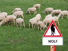 Varkensstapel krimpt nauwelijks, schapenhouders stoppen door komst wolf