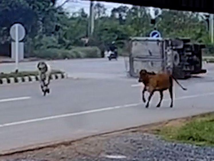 Chauffeur kantelt vrachtwagen om ongeval met koeien te vermijden