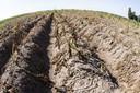 2019-07-30 13:14:21 HALLE - Een perceel verdroogde aardappelen in het Achterhoekse Halle. De aardappelen hebben te lijden van de aanhoudende droogte. Twente en de Achterhoek zijn de droogste gebieden van Nederland met een zeer lage grondwaterstand. ANP VINCENT JANNINK