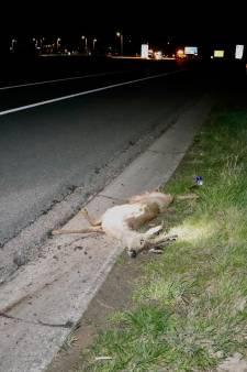 Ree overleeft aanrijding met auto op A73 bij Boxmeer niet