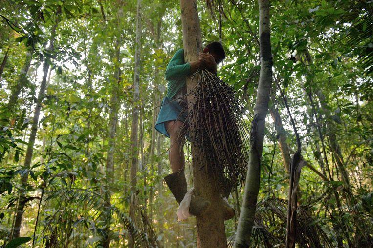 Het plukken van açai-bessen in het Amazonegebied kan gevaarlijk zijn. Beeld AFP