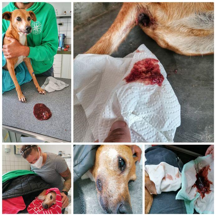 Hond Diego werd dit weekend doodziek na het eten van giftige paddenstoelen in Numansdorp.